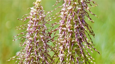 Loroglosse ou orchis bouc, une orchidée rare et protégée